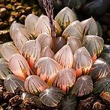 블랙옵투사 무금묘(Black Obtusa 無錦苗)-.-No.★공동구매 특가! 순서대로 튼실하고 큰것으로 선택해드립니다.|Haworthia cymbiformis var. obtusa