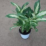 마리안느/디켄바키아/r공기정화식물/50-60cm
