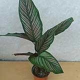 칼라데아진자/공기정화식물|