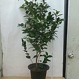 블랙로즈/동백나무/높이110센치|