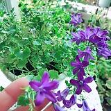 보라 캄파눌라(아름다운 보라꽃이 계속 피고지는)화분그대로(완성분) 