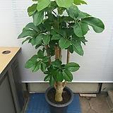 대엽홍콩/굵은목대/멋스러워요/높이120센치|