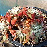 화이트그리니 11두자연군생 목대-41 Dudleya White gnoma(White greenii / White sprite)