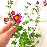 분홍향소국(꽃몽오리 많고 수형이 예쁜)랜덤(화분제외) 