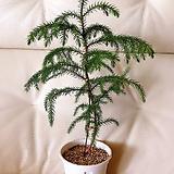 아라우카리아(늘푸른 잎이 매력적인)화이트슬릿화분(완성분)50cm 