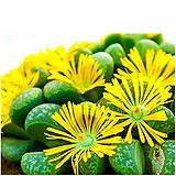 리톱스씨앗 헬무티 30립 (c271) ( lithops helmutii )-----다육이 화분 비료 분갈이 철화 선인장 분재 꽃|Lithops