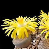 리톱스씨앗 후커리믹스 30립 ( lithops hookeri )-----다육이 화분 비료 분갈이 철화 선인장 분재 꽃|Lithops