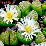 리톱스씨앗 마르모라타믹스 30립 ( lithops marmorata )-----다육이 화분 비료 분갈이 철화 선인장 분재 꽃|Lithops