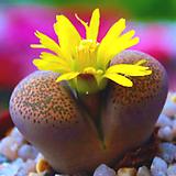 리톱스씨앗 테리칼라믹스 30립 ( lithops terricolor )-----다육이 화분 비료 분갈이 철화 선인장 분재 꽃|Lithops