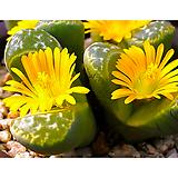 리톱스씨앗 나우리니에(c304) 30립 ( lithops naureeniae )-----다육이 화분 비료 분갈이 철화 선인장 분재 꽃|Lithops