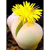 리톱스씨앗 임펀칵투스 50립 ( Dinteranthus impunctatus )-----다육이 화분 비료 분갈이 철화 선인장 분재 꽃|Lithops
