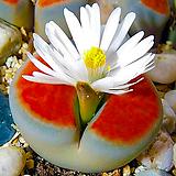 리톱스씨앗 카라스몬타나믹스 30립 ( Lithops karasmontana )-----다육이 화분 비료 분갈이 철화 선인장 분재 꽃|Lithops