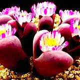 리톱스씨앗 루비 20립 ( c287, Lithops Rubra )-----다육이 화분 비료 분갈이 철화 선인장 분재 꽃|Lithops