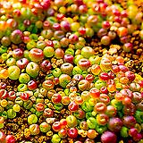 리톱스씨앗 믹스 100립 ( Lithops mix seed ) 280여종믹스-----다육이 화분 비료 분갈이 철화 선인장 분재 꽃|Lithops