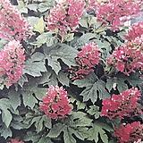 떡갈잎수국 /수국 (루비슬리퍼즈)|Hydrangea macrophylla