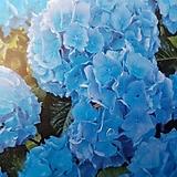 수국 (르네이트) 소품|Hydrangea macrophylla