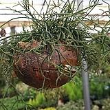 립살리스 테리스/공중식물/행잉플랜트/공기정화식물|