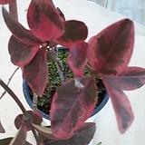 강진주작산둥근잎마삭|