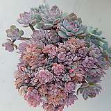 수련철화|Echeveria Suryeon
