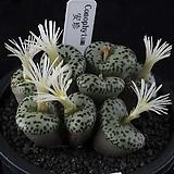 XP3093-Conophytum ursprungianum 안진(安珍) 9두|