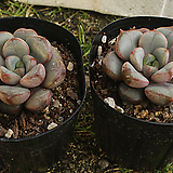 홍포도(랜덤)|Graptoveria Ametum