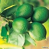 라임나무/라임레몬나무|
