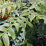 크리소카디움/공기정화식물/행잉플랜트/초대형/식물길이 1M|