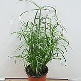 시페루스/수중식물/수생식물/수경/대나무|