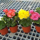 꽃베고니아4종(1세트)/소품|Begonia