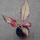 아글레오네마 오로라/공기정화식물/30cm내외|Sedum rubrotinctum cv.Aurora