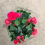 베고니아/엘라티올 베고니아/장미베고니아/빨간색/40cm내외|Begonia