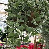 디시디아/화이트/대형코코넛화분/공기정화식물/식물길이 50cm내외 