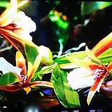 디네마. 큰포기.향기좋아요.꽃대있어요.꽃도 귀엽고 벌브도 동그란모양이 예뻐요. 