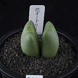 XP3111-Conophytum CV.화오도리 花おどり 2두|