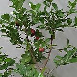 구아바(빨강 2목대)|