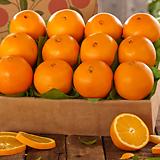 네이블 오렌지나무 대품♥네이블오렌지 오렌지 나무 시트러스|