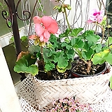 제라늄(꽃밥이 풍성 목대좋아요)2가지색 한세트+행잉 바구니(한세트) Geranium/Pelargonium