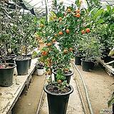 유주나무(대품)-120-150센치|