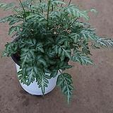 에버제미엔시스/에버잼고사리/공기정화식물/30-40cm|