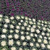 [대량납품가능]조경용 꽃양배추 노지월동|