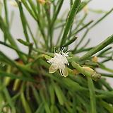 트리고나/립살리스/공기정화식물/공중식물/행잉플랜트(현재 꽃이 피어 있어요~)|