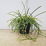 립살리스 화이트볼/밤베시스/공기정화식물/공중식물(현재 볼이 많이 달려 있습니다!)|
