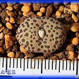 Conophytum Pellucidum neohallii TS461|
