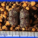 Conophytum Pellucidum terricolor AJY1032|