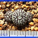 Conophytum minimum Wittebergense RR714|