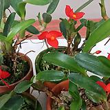 막실라리아 소프로니스트(발강색꽃).다시입고. 잎,꽃앙징맞고 예쁩니다.토분.인기상품. 