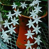 에란기스 비로바.순백색꽃.은은한 향기(밤에 향기가 납니다).다시입고.꽃대있습니다... 