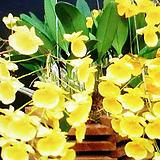 석곡.엉펑.(엉평).취석곡.다시입고.사이즈큰것.노란색꽃.좋은향.상태굿. 