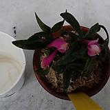석곡.덴드로비움.카스버터소니.(핑크복카시).상태굿. 신상품.고급종.미니종.꽃대. 