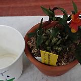 석곡.덴드로비움.카스버터소니.(오렌지복카시).상태굿. 신상품.고급종.미니종.꽃대. 